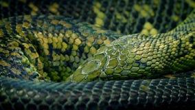 Serpente arrotolato sulla respirazione lentamente video d archivio