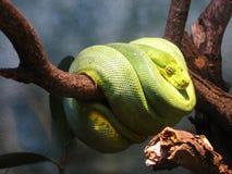 Serpente arrotolato in un albero Immagine Stock