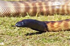 Serpente australiano del pitone con testa nera del primo piano con la lingua fuori fotografia stock