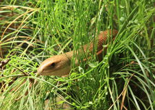 Serpente beaked Rufous Imagens de Stock