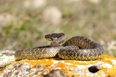 Serpente blotched integrale immagine stock