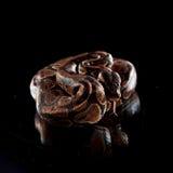 Serpente bonita. Anaconda do bebê Imagens de Stock Royalty Free