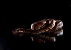 Serpente bonita. Anaconda do bebê Fotos de Stock Royalty Free
