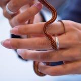 Serpente bonita do vermelho do bebê Fotos de Stock Royalty Free