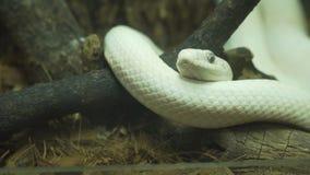 A serpente branca encontra-se em um ramo imagem de stock royalty free