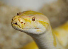 Serpente Burmese del pitone immagini stock libere da diritti
