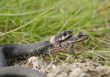 Serpente che inghiotte rana Immagine Stock