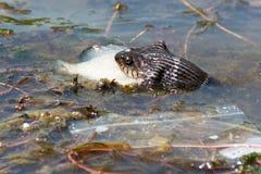Serpente che mangia pesce in fiume Fotografia Stock Libera da Diritti