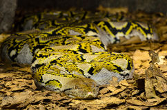 Serpente colorida grande nas folhas Foto de Stock Royalty Free