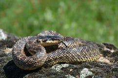 Serpente com língua para fora Imagens de Stock