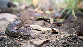 Serpente comune dell'addizionatrice di morte Immagine Stock