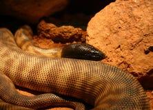 Serpente con testa nera Immagine Stock