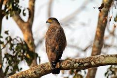 Serpente crestato Eagle che guarda indietro fotografia stock