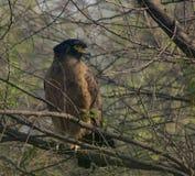 Serpente crestato Eagle (cheela di Spilornis) Immagine Stock Libera da Diritti