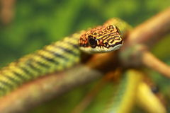 Serpente da árvore Imagens de Stock Royalty Free
