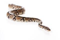 Serpente da boa Imagem de Stock Royalty Free