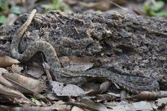 Serpente da espécie do Bothrops com a língua estendida Fotografia de Stock Royalty Free