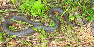 Serpente da rainha (septemvittata de Regina) Imagem de Stock