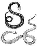 Serpente da víbora cobra e pitão da serpente, anaconda ou víbora, reais mão gravada tirada no esboço velho, estilo do vintage par ilustração do vetor