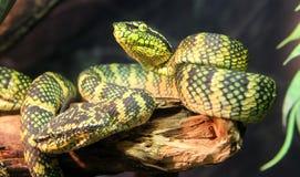Serpente da víbora da palma do ` s de Wagler fotos de stock royalty free