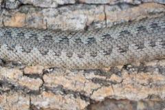 Serpente da víbora, latastei do Vipera Fotografia de Stock