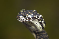 serpente dalla testa vasta (bungaroides di Hoplocephalus) Immagini Stock