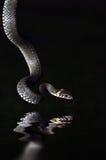 A serpente de água Fotos de Stock
