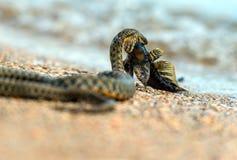Serpente de água Fotografia de Stock