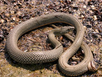 Serpente de água na caça na costa Fotos de Stock
