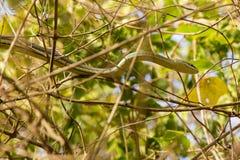 Serpente de areia Listra-inchada oriental sobre o dossel Fotografia de Stock Royalty Free