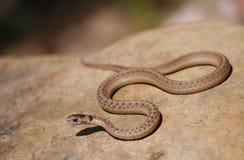 Serpente de Brown Imagem de Stock Royalty Free