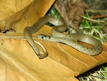 Serpente de Brown (dekayi do Storeria) Foto de Stock