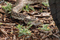 Serpente de Bull Fotos de Stock Royalty Free