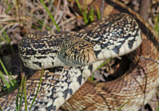 Serpente de Bull Fotografia de Stock