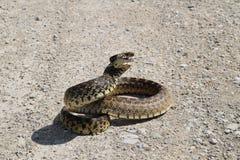 Serpente de Bull na estrada de terra Coiled imagens de stock royalty free