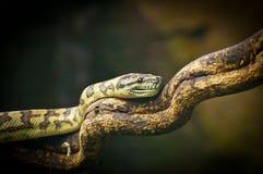 Serpente de Bushmaster Foto de Stock
