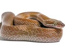 Serpente de casa do cabo (capensis de Boaedon) imagens de stock royalty free