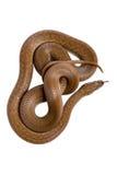Serpente de casa do cabo (capensis de Boaedon) fotografia de stock