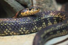 Serpente de chicote em ferradura fotografia de stock