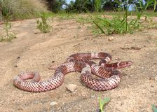 Serpente de Coachwhip ocidental imagem de stock