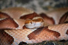 Serpente de Copperhead Imagens de Stock