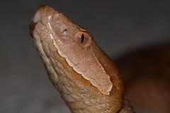 Serpente de Copperheas imagens de stock royalty free