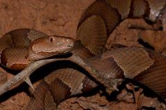 Serpente de Copperheas fotografia de stock