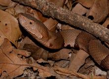 Serpente de Copperheas fotografia de stock royalty free