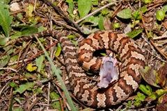Serpente de Cottonmouth (piscivorus do Agkistrodon) imagem de stock royalty free