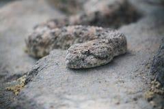 Serpente de descanso do chocalho Foto de Stock Royalty Free