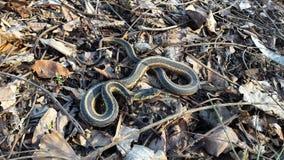 Serpente de fita que expõe-se ao sol no banco Foto de Stock Royalty Free