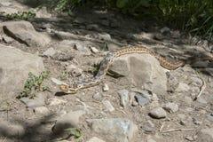 Serpente de Gopher que rasteja através de uma rocha Fotografia de Stock