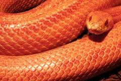 A serpente de grama é na muda - Ringelnatter Fotografia de Stock