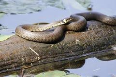 Serpente de grama Imagem de Stock